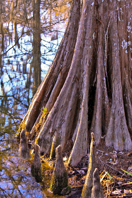 Cypress Tree in Swamp
